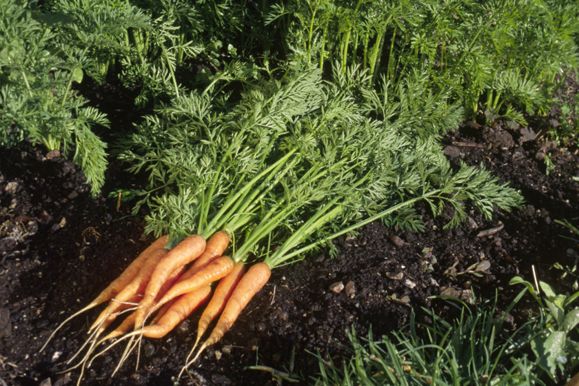 уборка моркови по Лунному календарю, таблица + фото 1