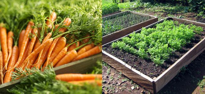морковь на хранение, как подготовить правильно фото