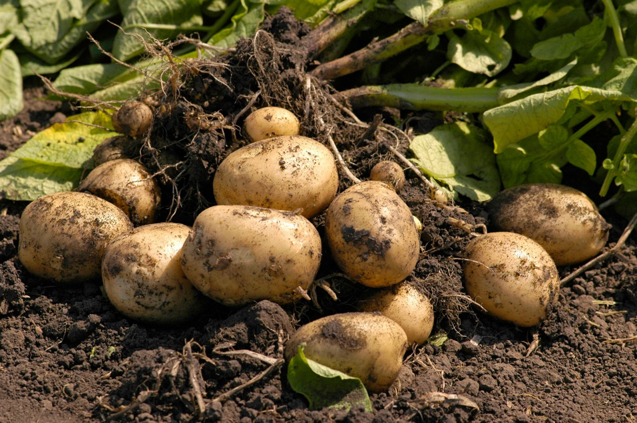 как определить зрелость картофельных клубней, признаки фото