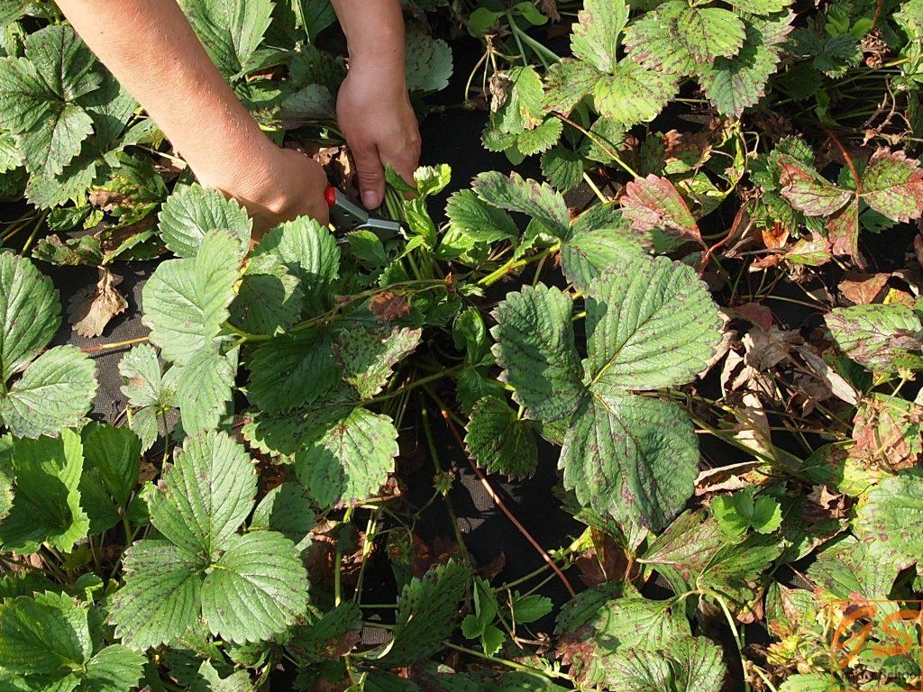 подкормка клубники осенью для большого урожая фото