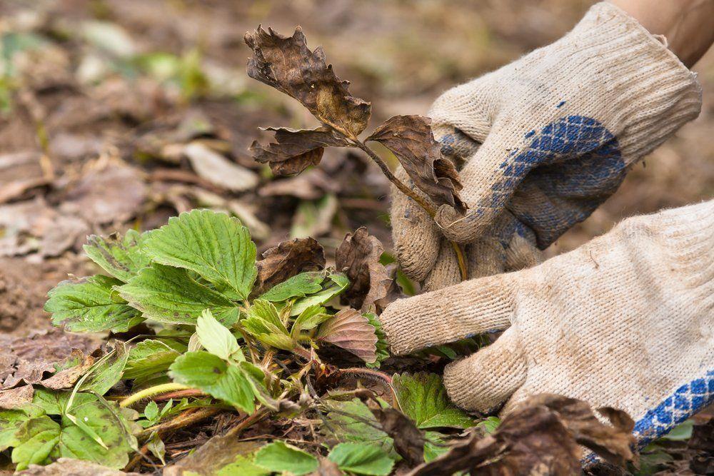 подготовка клубники к зиме, как подойти к агротехнике фото