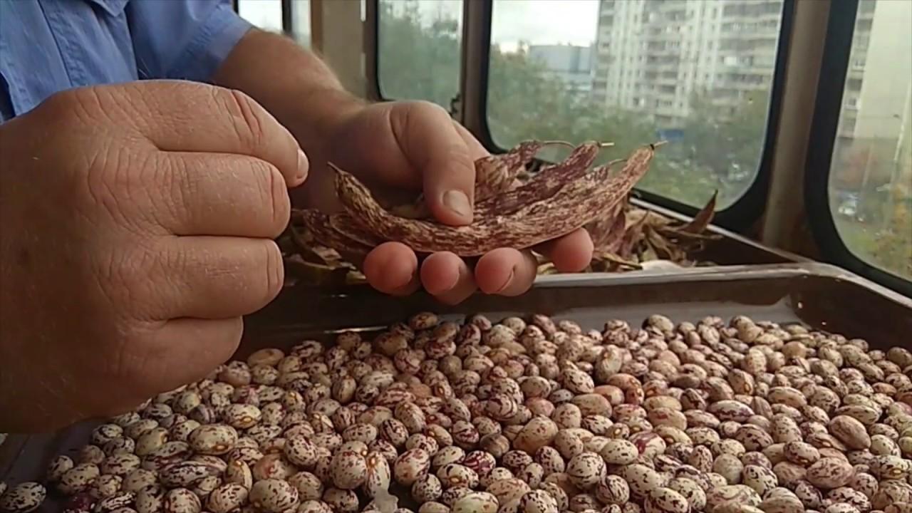 как выбрать семена фасоли фото