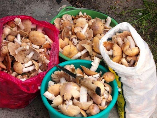 размножение грибов курочек из трухлявых пней фото