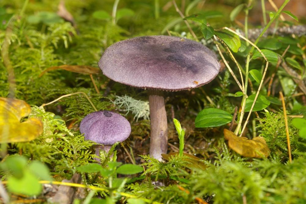 Паутинник лиловый фото