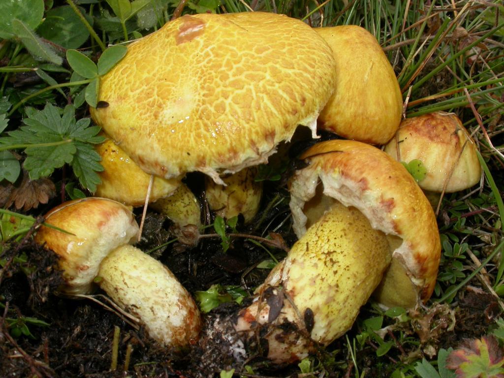 №3 - Масленок Сибирский или Suillus Sibiricus фото