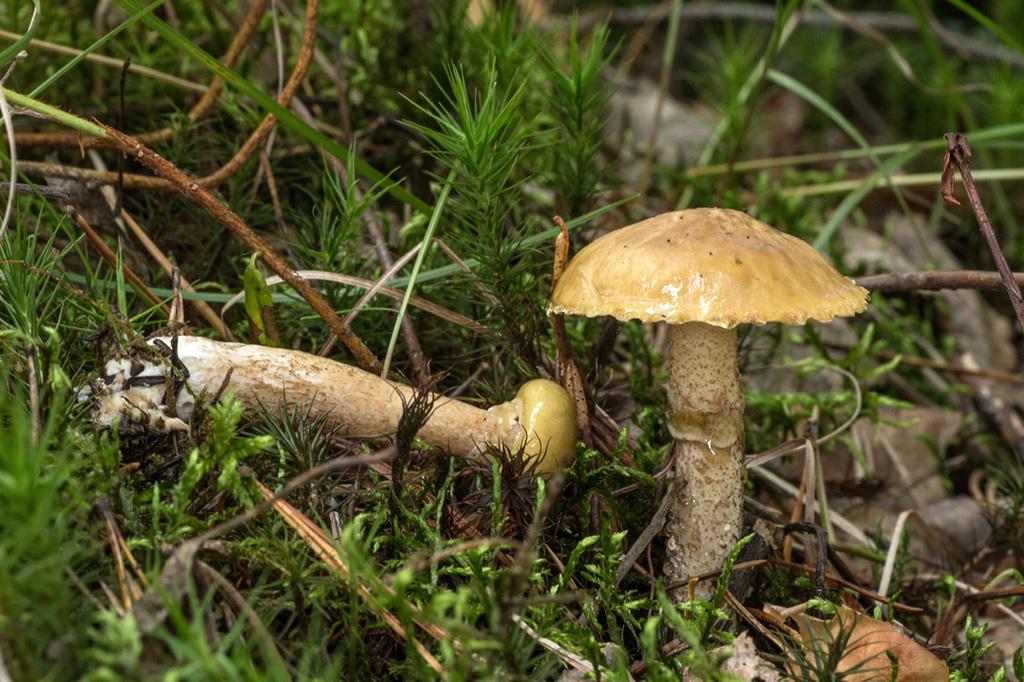 №5 - Масленок Кислый или Suillus Acidus фото