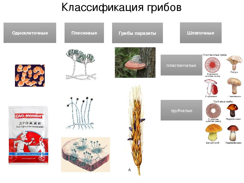классификация грибов на фото 1