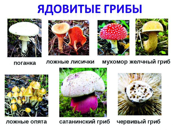 картинки грибов с названиями, съедобные и несъедобные фото и видео 1