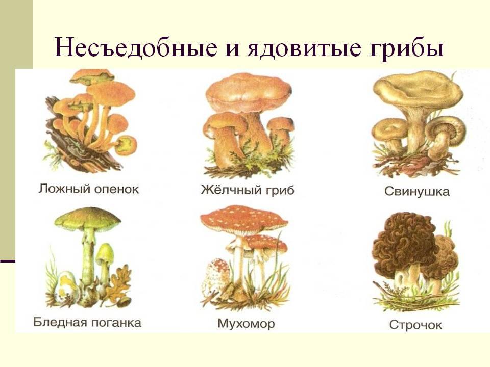 картинки грибов с названиями, съедобные и несъедобные фото и видео 2
