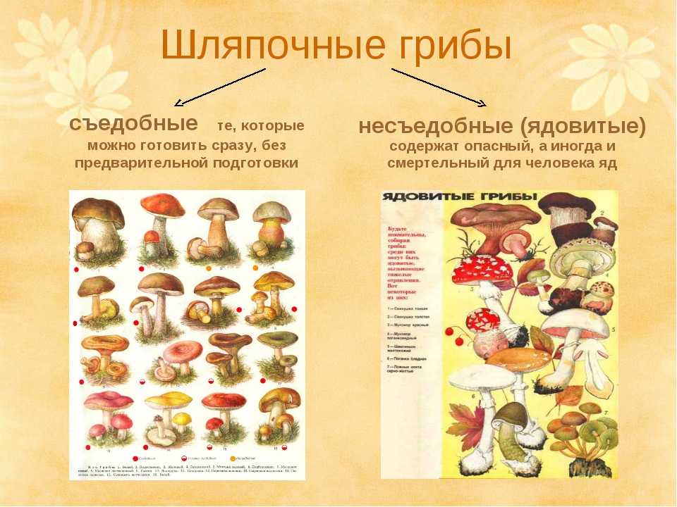 картинки грибов с названиями, съедобные и несъедобные фото и видео 4