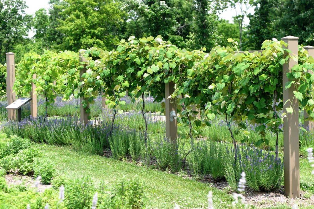 как правильно обрезать виноград осенью по схеме фото