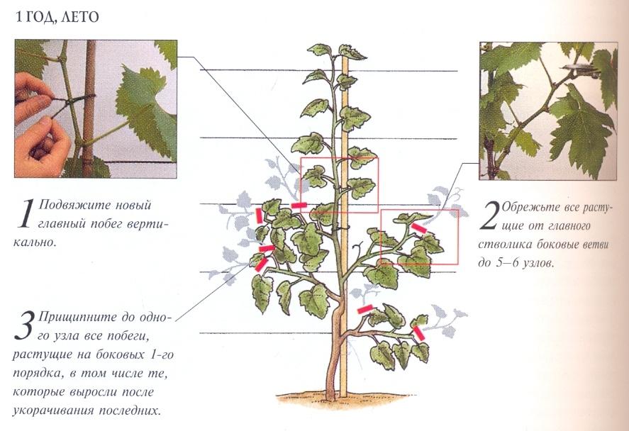 сроки обрезки винограда по регионам фото