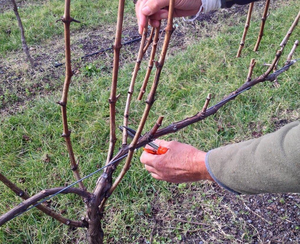 как обрезать виноград осенью, пошаговая инструкция + фото 1
