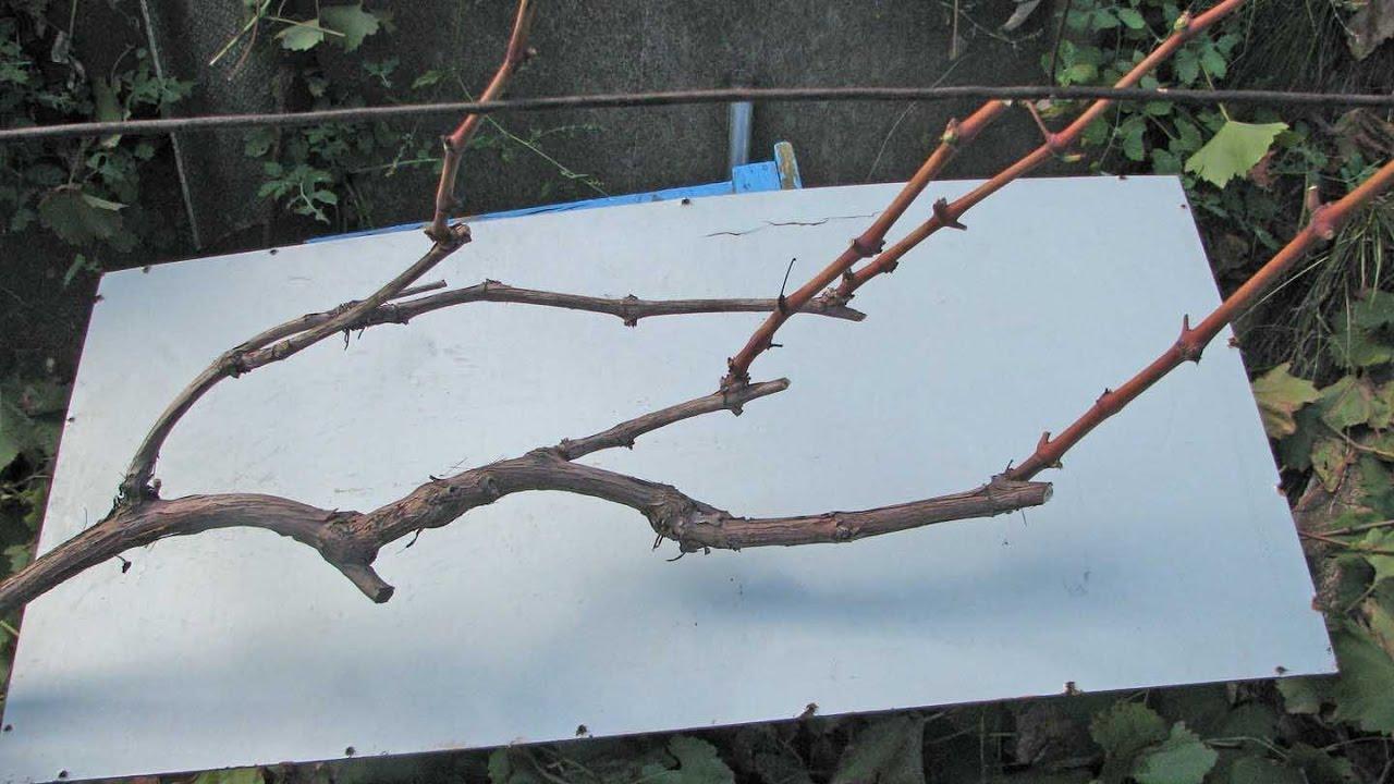 бесштамбовая и штамбовая обрезка винограда, схема на фото 1