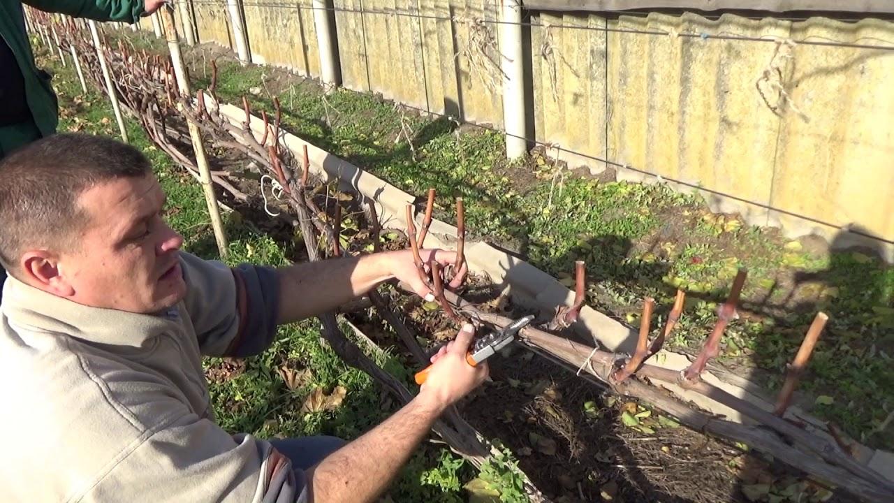 бесштамбовая и штамбовая обрезка винограда, схема на фото 2