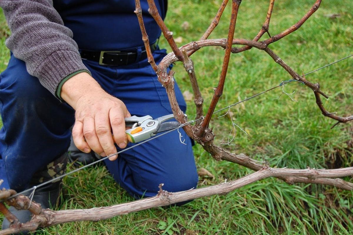 нужно ли или зачем обрезать виноград осенью фото