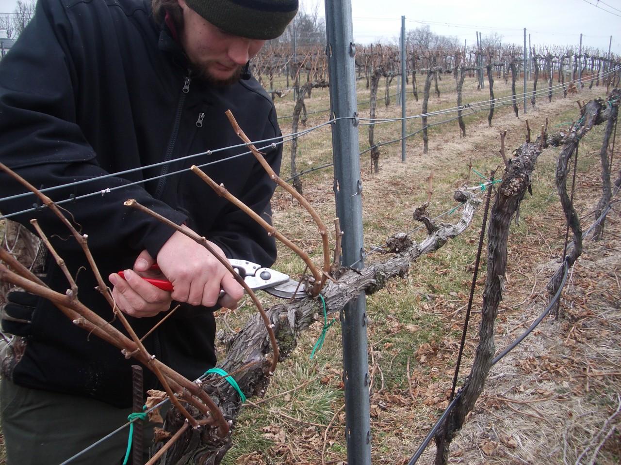 правильное формирование виноградного куста фото