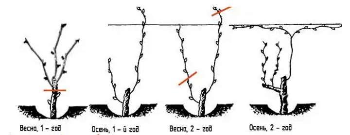 формирование винограда на второй год фото