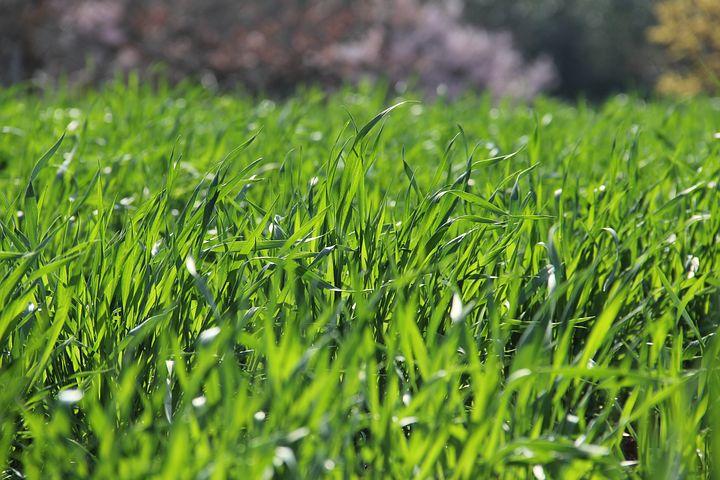 когда сажать (сеять) газон осенью фото
