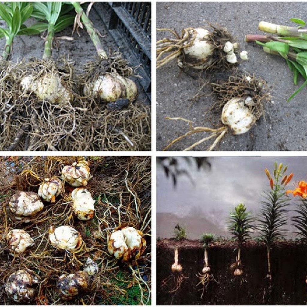 сроки посадки лилии с ростками, советы + фото 2