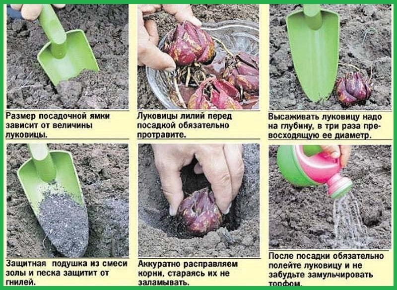 подготовка луковиц к посадке фото