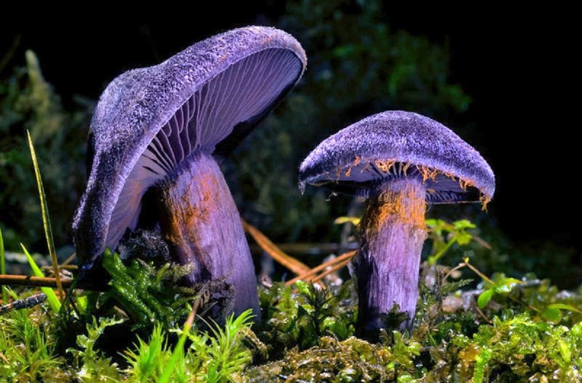 Паутинник фиолетовый фото