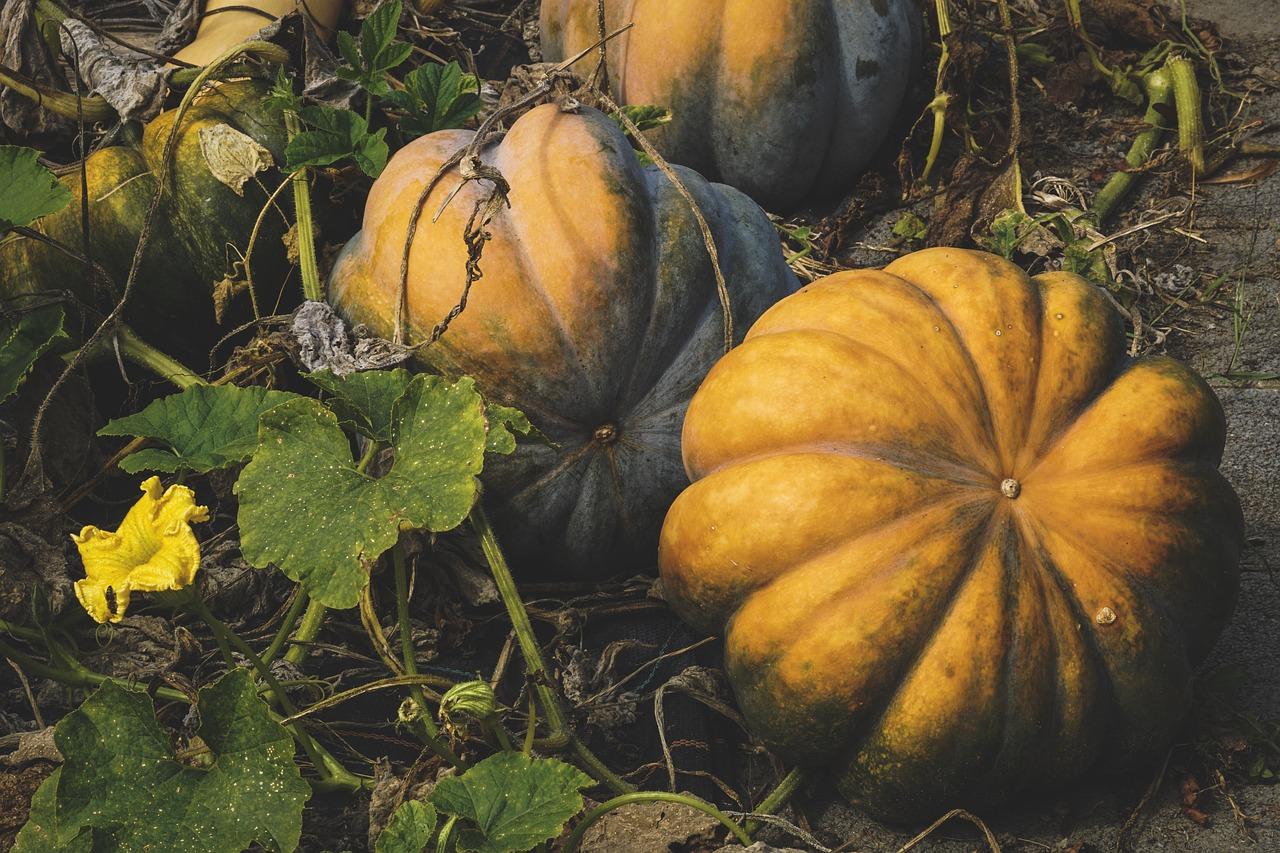 сбор урожая тыквы по Лунному календарю в 2021 году фото