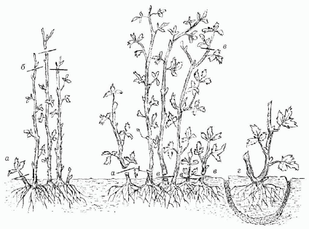 полноценный уход за малиной осенью и рекомендации по подготовке к зиме фото