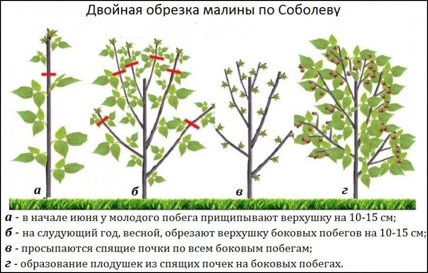 как правильно обрезать кусты малины, способны + пошаговая инструкция обрезки на фото 1