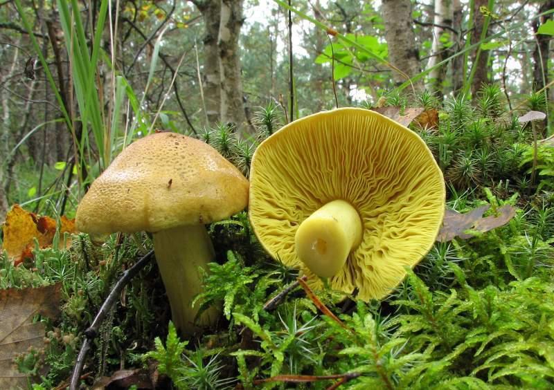 гриб Зеленушка: фото и описание 1