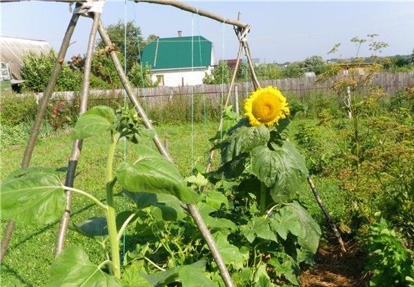 №3 - опора из овощных культур фото