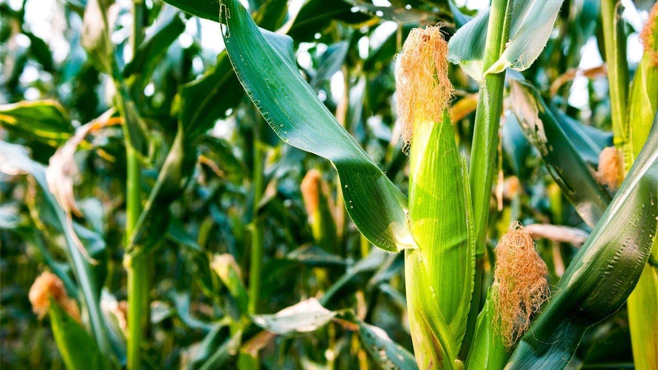 благоприятные сроки посадки кукурузы семенами фото
