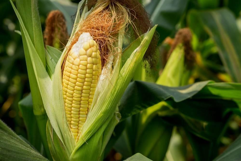 сроки посева и посадки кукурузы в 2021 году: полноценное выращивание и уход фото