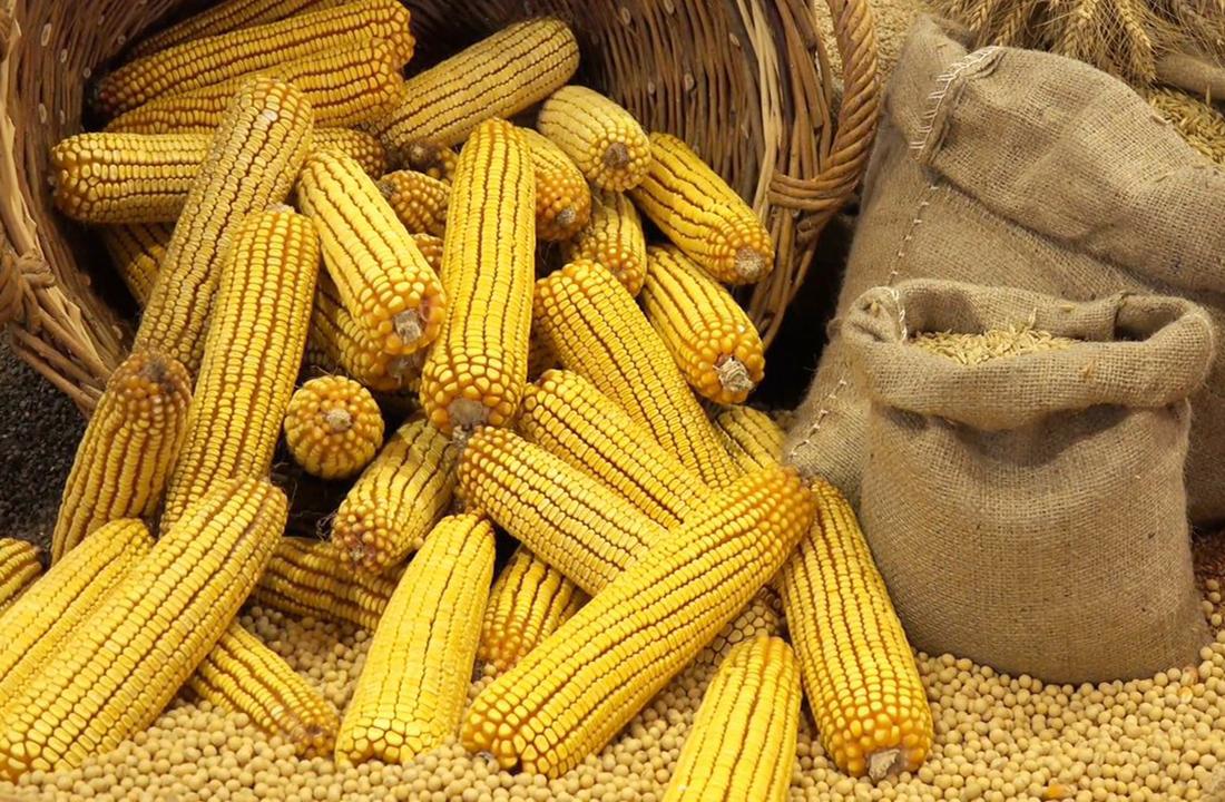 сроки: созревание кукурузы и сбор урожая фото