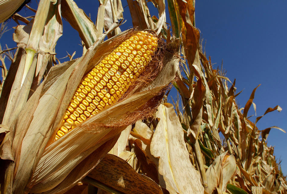 сроки: созревание кукурузы и сбор урожая фото 2