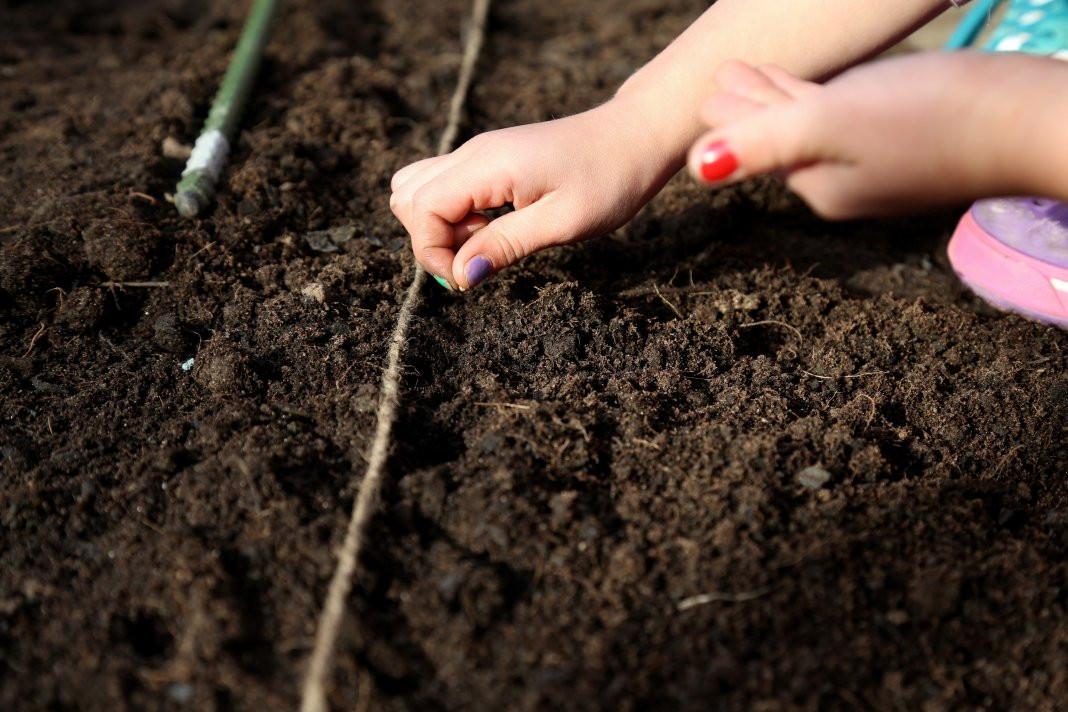 посев подсолнечника в открытый грунт фото