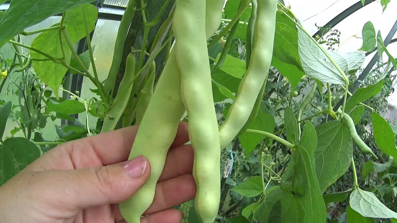 выращивание в теплице, советы фото