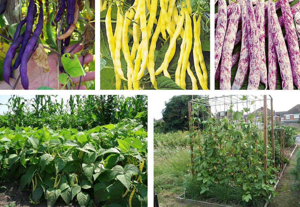 выращивание посевом спаржевой фасоли в открытый грунт фото