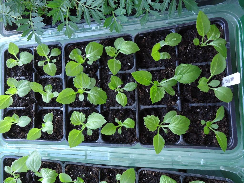посев семян астры на рассаду, пошаговая инструкция с фото 1