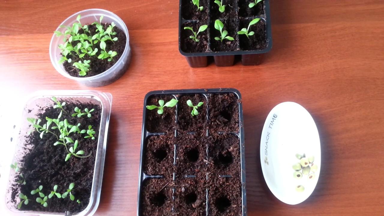 посев семян астры на рассаду, пошаговая инструкция с фото 2