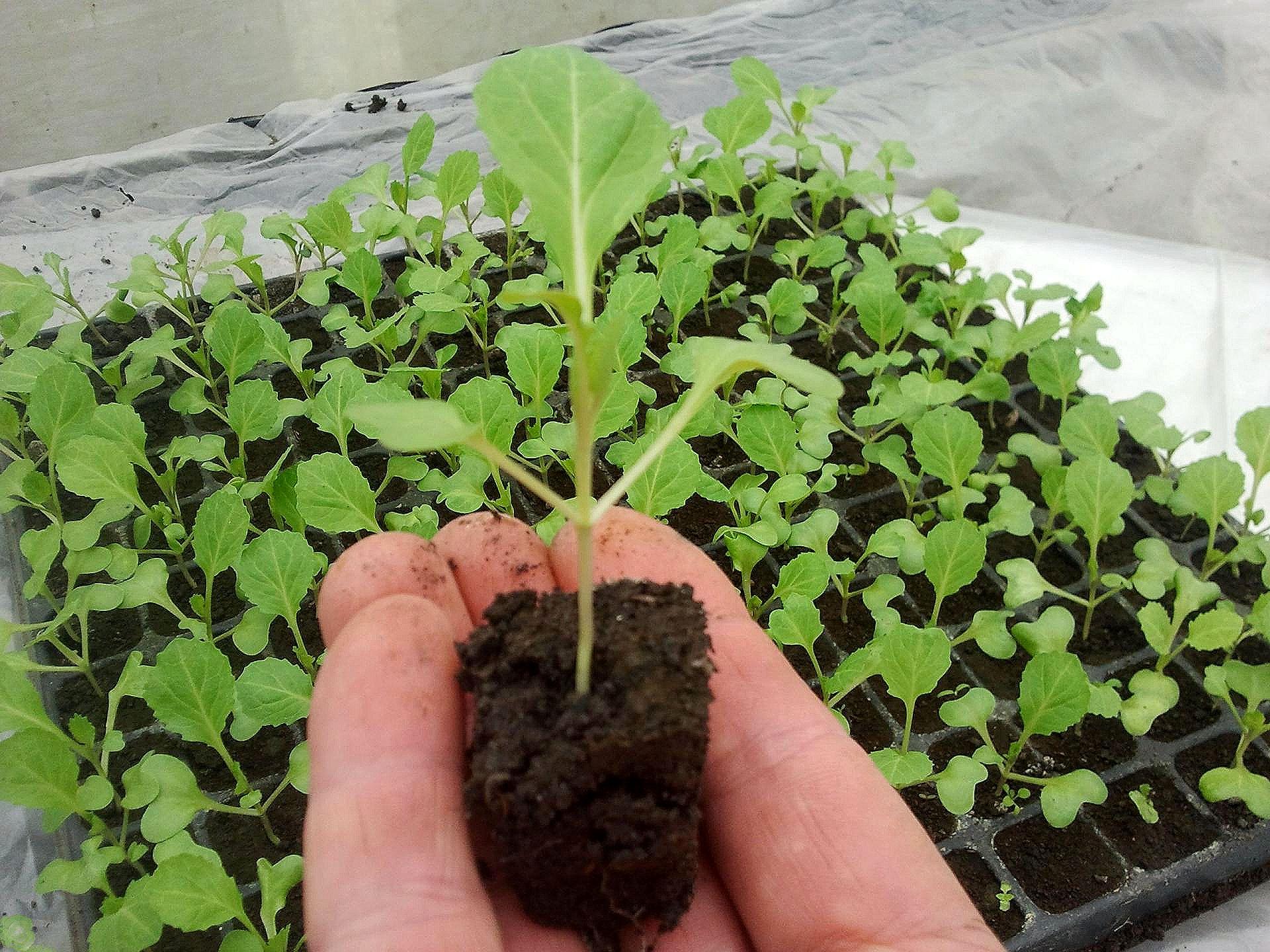полноценное выращивание рассады, советы и рекомендации фото