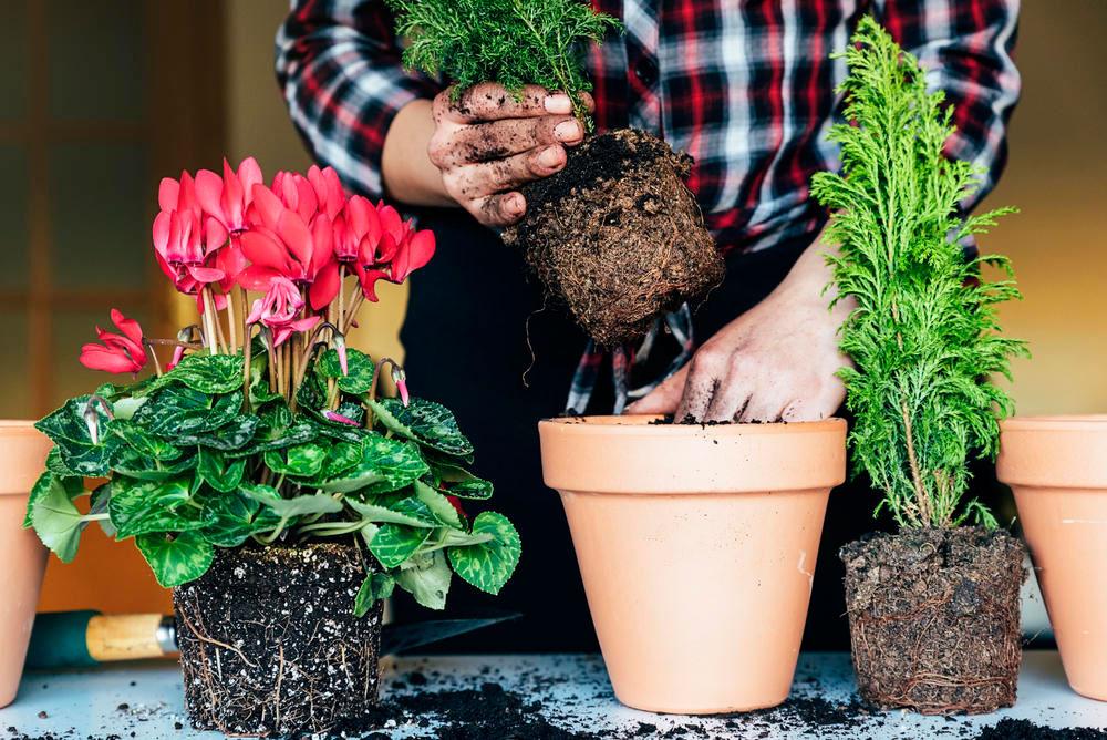 можно ли или когда лучше пересаживать комнатные растения в январе 2021 года фото