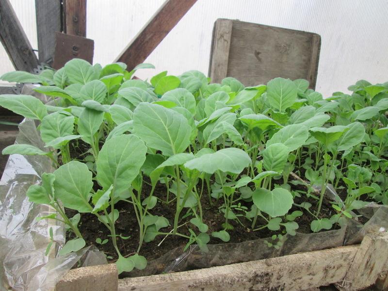 как выращивать брокколи на рассаду правильно фото