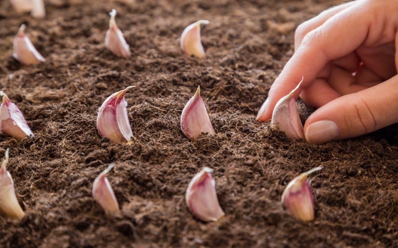 посадка чеснока весной: апрель, май фото