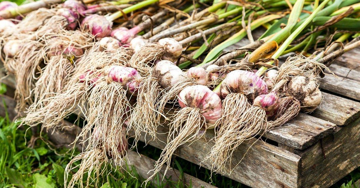 уборка урожая чеснока с грядки, сроки фото 1