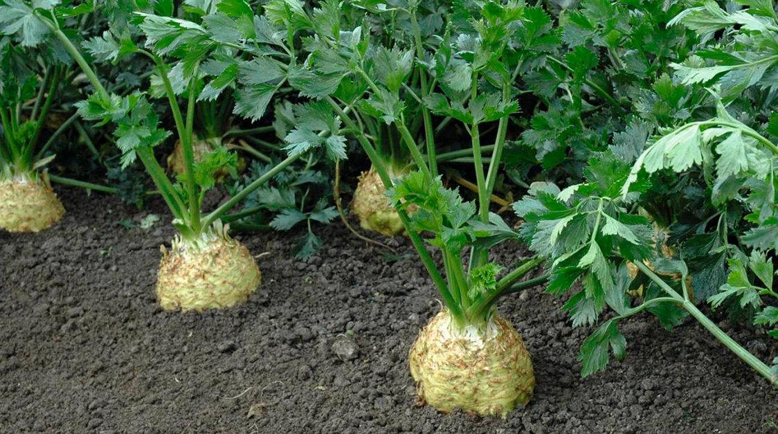 выращивание сельдерея, основные правила и секреты ухода фото