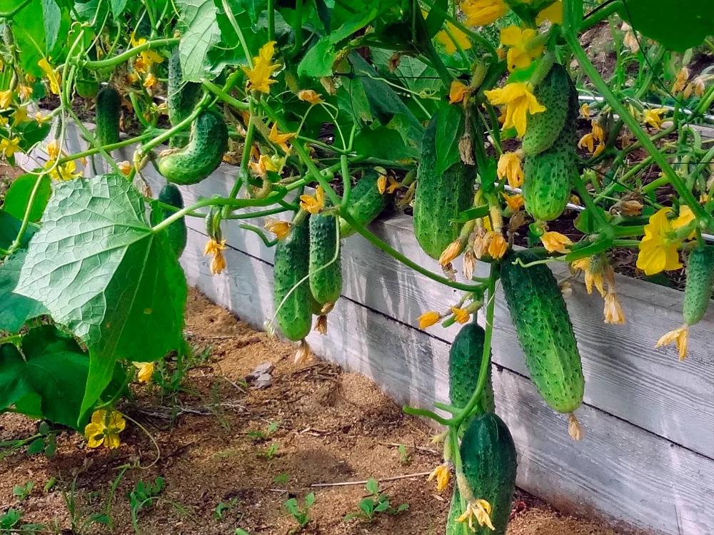 благоприятные дни для посева огурцов на рассаду в 2021 году: сроки по Лунному календарю фото