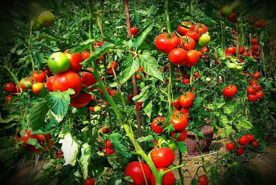 благоприятные дни для посева помидор в 2021 году по Лунному календарю фото