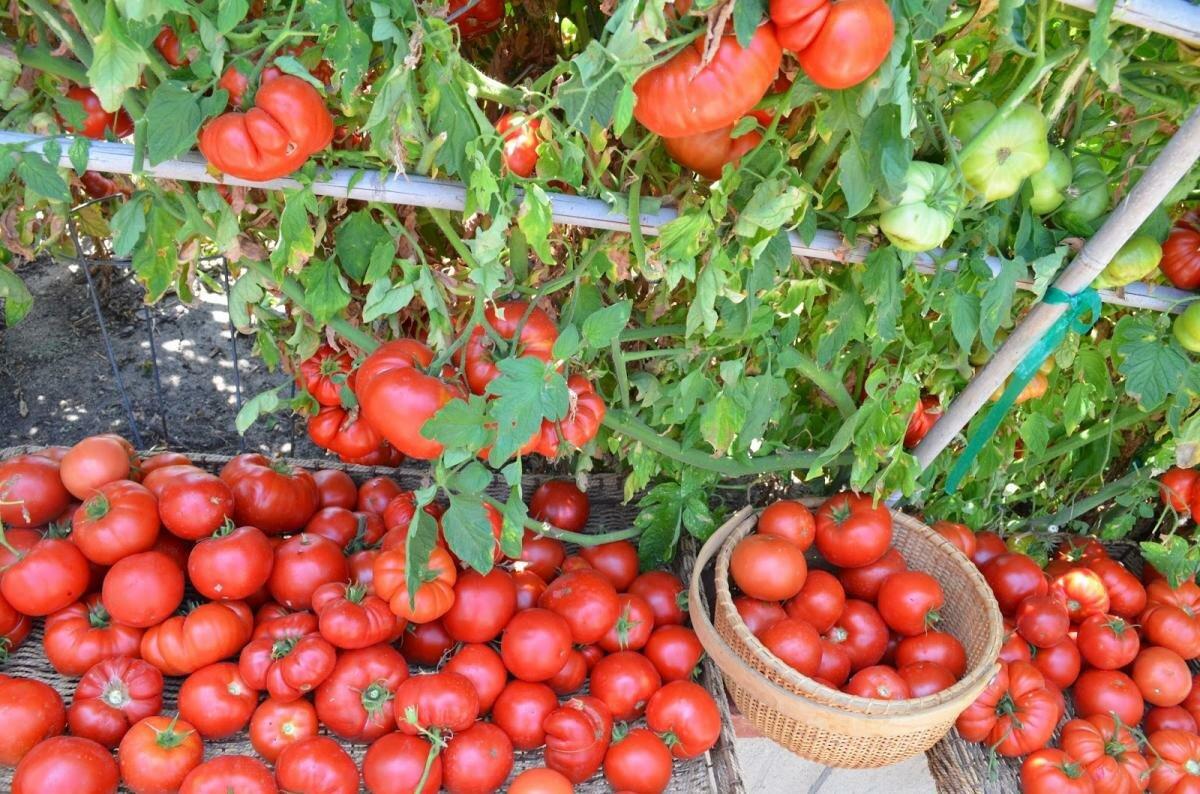 сбор урожая томатов и семян на хранения фото