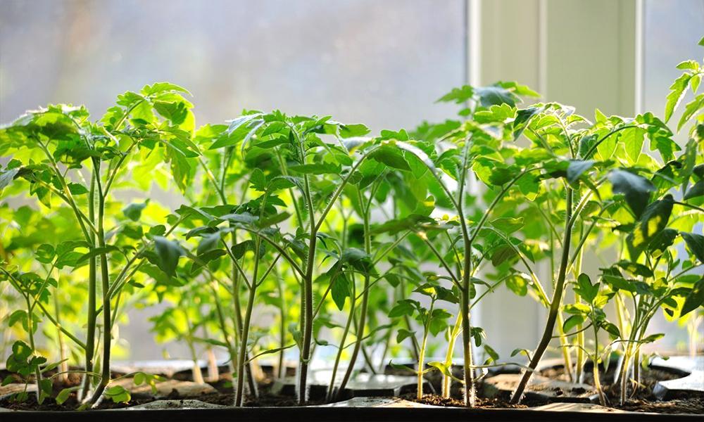 когда высаживать рассаду томатов в открытый грунт по Лунному календарю в 2021 году фото